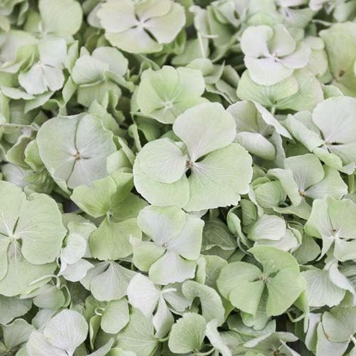 Sage Green Hydrangea Petals