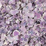 Violet White Freeze Dried Hydrangea Petals
