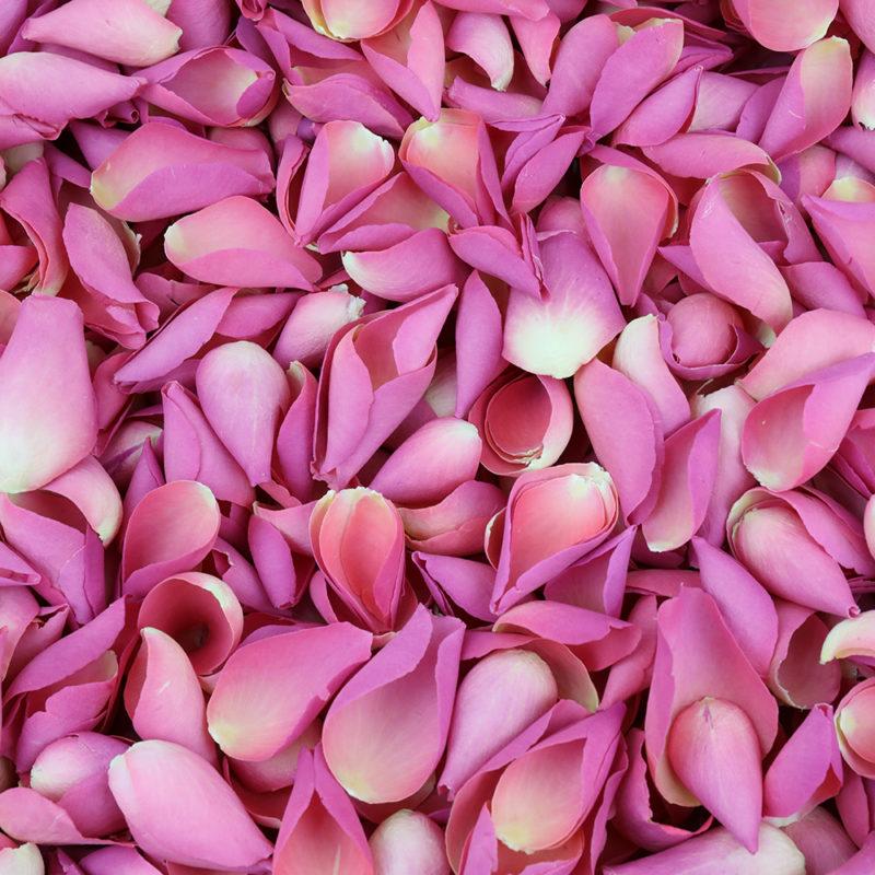 Aphrodite Pink