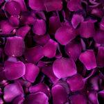 Velvet Desire Rose Petals